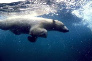 underwater-swimming-polar-bear_2968.jpg